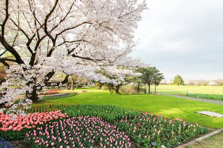 showa: Tulip garden at Showa Kinen Koen(Showa Memorial Park),Tachikawa,Tokyo,Japan in spring.