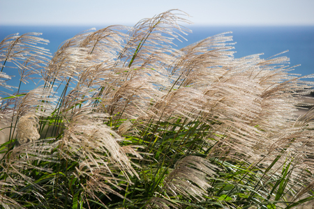 Susuki(Japanese Pampas Grass,Miscanthus sinensis) blowing in the breeze in Ibaraki,Japan