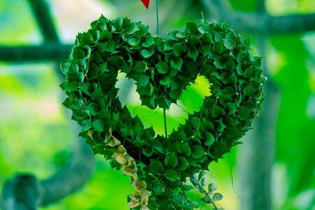 Million Heart(Dischidia ruscifolia Decne. ex Becc.)in the form of heart shaped ornamental plant.
