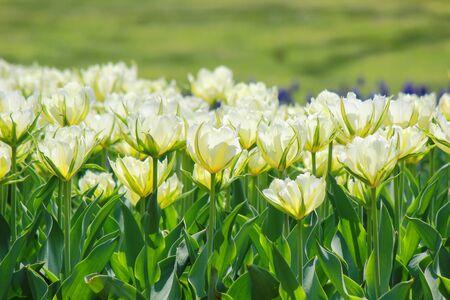 Tulip garden at Showa Kinen Koen(Showa Memorial Park),Tachikawa,Tokyo,Japan in spring.