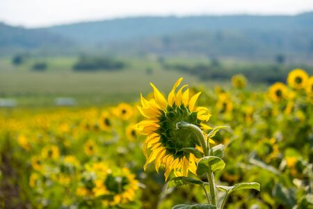 Field of sunflowers in Pak Chong district,Nakhon Ratchasima Province,northeastern Thailand. Stok Fotoğraf - 95910772