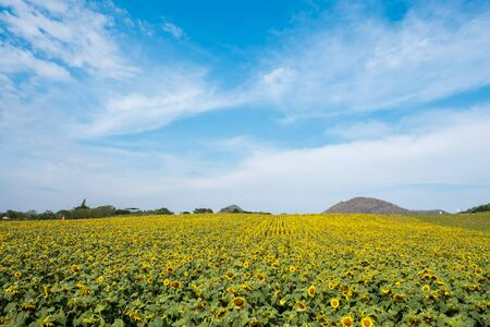 Field of sunflowers in Pak Chong district,Nakhon Ratchasima Province,northeastern Thailand.