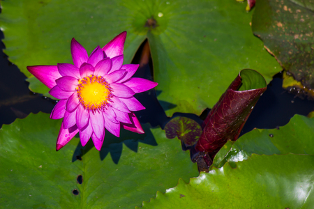 blooming pink Nymphaea lotus in the pond Stock Photo