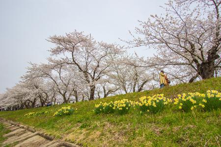 Fully bloomed cherry blossoms and daffodils along Hinokinai River,Kakunodate,Akita,Tohoku,Japan in spring.(selective focus) Stock Photo