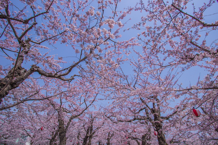 Fully-bloomed cherry blossoms at Fort Goryokaku,Hakodate,Hokkaido,Japan in spring.