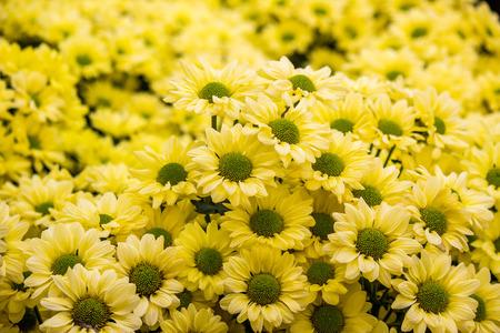Chrysanthemum Copa yellow flowers (selctive focus) Zdjęcie Seryjne