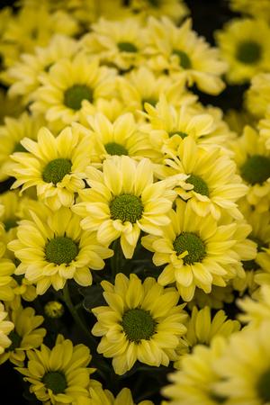 Chryzantema Copa żółte kwiaty (selektywne skupienie)