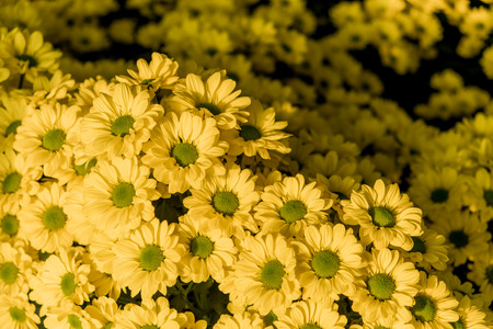 Chrysanthemum Copa yellow flowers (selctive focus)