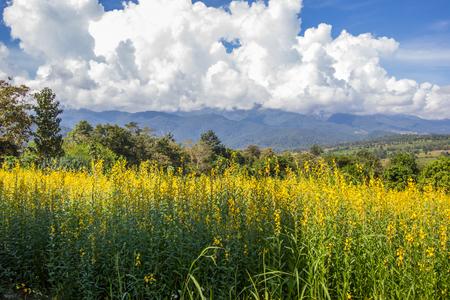 Yellow fields of Crotalaria juncea(sunn hemp) and beautiful sky in Pai,Mae Hong Son,Northern Thailand