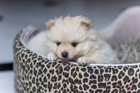 Lovely cream-colored Pomeranian puppy.