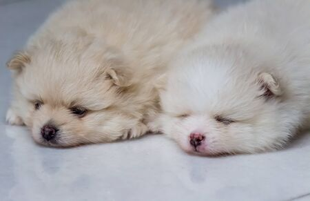 Lovely twin Pomeranian puppies (selective focus) 스톡 콘텐츠