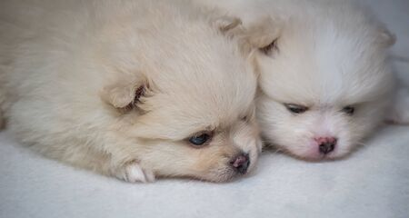 Lovely twin Pomeranian puppies (selective focus) 版權商用圖片