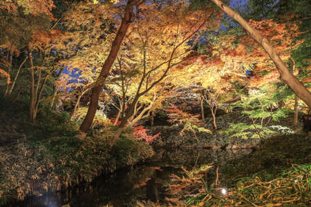 Bunkyo City,Tokyo,Japan on December6,2019:Illumination at Rikugien Garden in autumn.The contrast of the leaves against the dark night sky makes their colors seem even more vibrant than in the daytime.