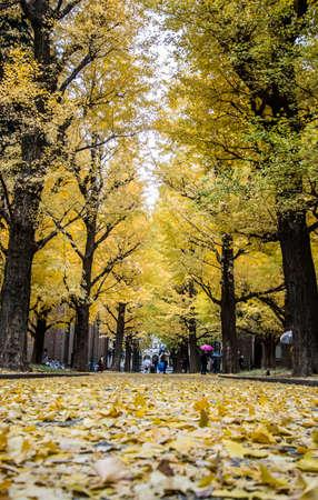 Bunkyo ward,Tokyo,Japan on December7,2019:Beautiful yellow ginkgo tunnel at University of Tokyo(Todai) in autumn.