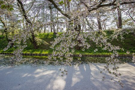 Outer moat filled with cherry blossom petals(may be called 스톡 콘텐츠