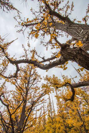 Beautiful yellow Ginkgo leaves at Icho Namiki-dori(Ginkgo Avenue),Meiji Jingu Gaien,Aoyama area,Tokyo,Japan.