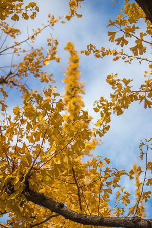 Beautiful yellow Ginkgo leaves at Icho Namiki-dori(Ginkgo Avenue),Meiji Jingu Gaien,Aoyama area,Tokyo,Japan. 스톡 콘텐츠 - 148548745