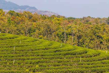 Beautiful landscape of Choui Fong Tea Plantation,Mae Chan District,Chiang Rai,Northern Thailand