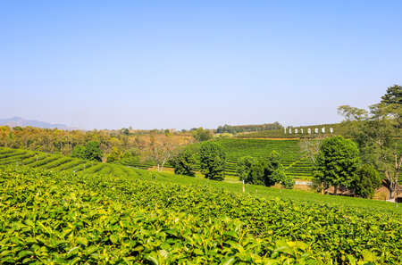 Mae Chan District,Chiang Rai,Northern Thailand on January 17,2020:Beautiful landscape of Choui Fong Tea Plantation. 스톡 콘텐츠 - 149226001