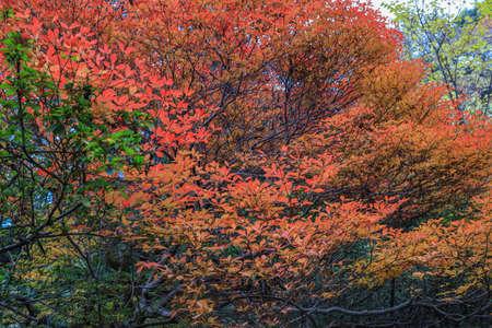 Bunkyo City,Tokyo,Japan on December6,2019:Beautiful autumn colors at Rikugien Garden.