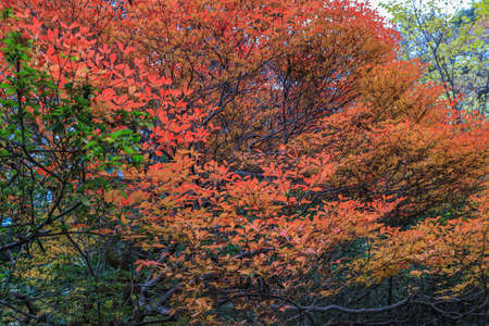 Bunkyo City,Tokyo,Japan on December6,2019:Beautiful autumn colors at Rikugien Garden. 스톡 콘텐츠 - 151157587