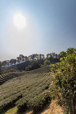Beautiful landscape of  101 Tea Plantation,Doi Mae Salong,Chiang Rai province,Northern Thailand. 스톡 콘텐츠