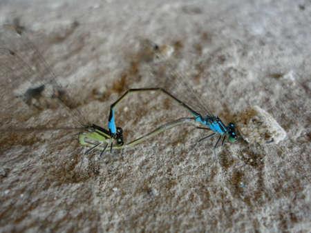 faisant l amour: Deux libellules bleues qui font l'amour sur les rochers