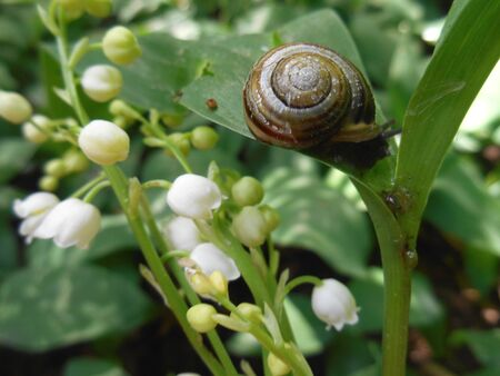 Snail and flowers lily of the valley background photo