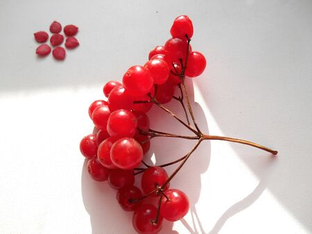 Flower of seed and red viburnum berries photo