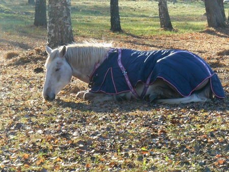 blanket horse: White horse in a blanket sleeping in the park