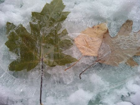 texture: Leaves frozen texture  Stock Photo