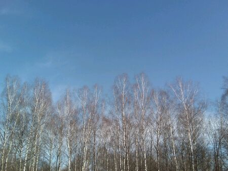 blue: Birches trees blue sky