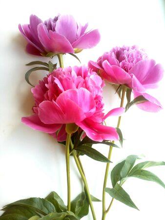 pfingstrosen: Rosa Pfingstrosen-Blumen auf einem weißen Hintergrund