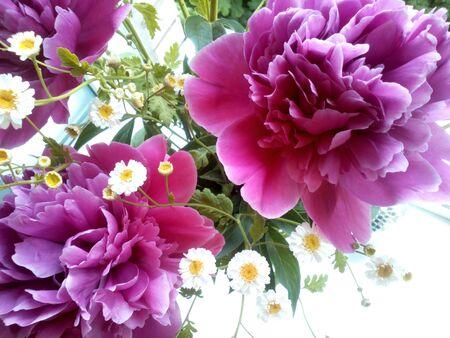 pfingstrosen: Rosa Pfingstrosen und wei�en Blumen Hintergrund
