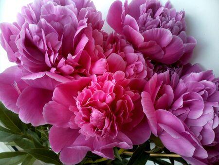 pfingstrosen: Rosa Pfingstrosen Blumen sch�nen Hintergrund