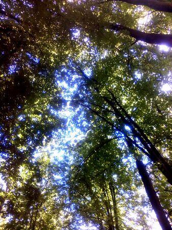 trees  summer: Verano �rboles verdes y fondo azul Foto de archivo