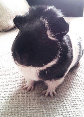 guinea pig: Guinea pig   Stock Photo