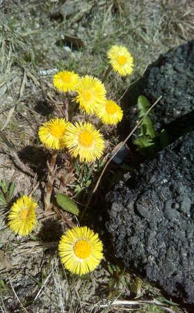 yellow earth: Yellow mother and stepmother flowers on a earth and stones background