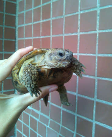 tile: Turtle pet in the hand on a tile background