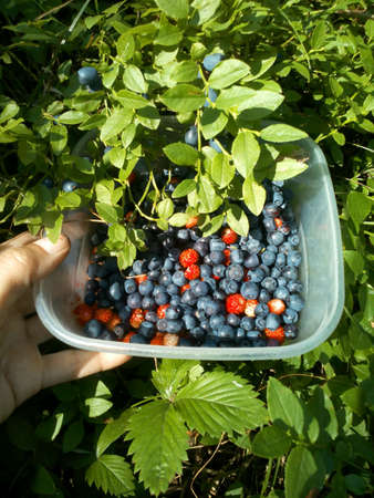 Collection blueberries and strawberries in the forest