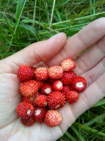 Red ripe strawberries in the hand on a green grass background