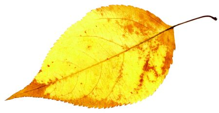 yellow leaf isolated on a white Stock Photo