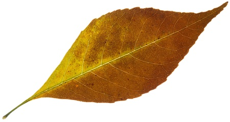 autumn yellow leaf isolated on a white Stock Photo