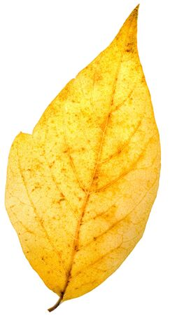 autumn yellow leaf isolated on a white Stock Photo - 16323088