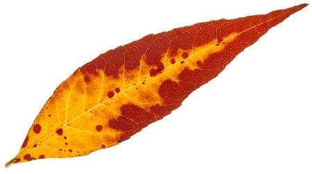 autumn yellow leaf isolated on a white Stock Photo - 16324512