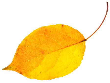 autumn yellow leaf with dark stains isolated on a white Stock Photo - 16324516