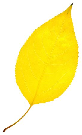 yellow leaf isolated on a white Stock Photo - 16324511