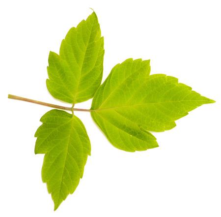 minutiae: green leaf isolated on white background