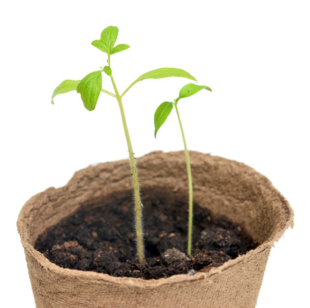 peat pot: Tomato seedlings in a pot of peat on a white background