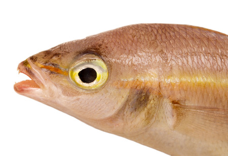 sea bass head close-up isolated on white background